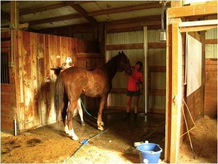 Scraggly horse