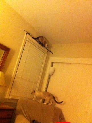 Tonka the squirrel perched atop a curtain rod. Brother Frankie staying close to the ground.