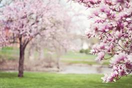 magnolia-trees-556718_1920